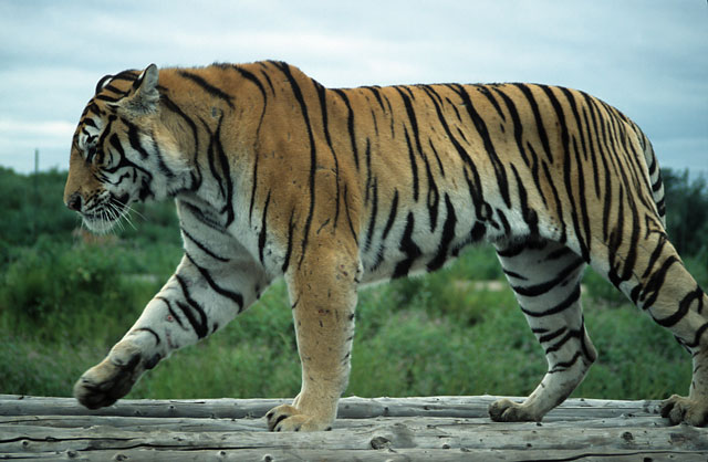 wildlife animal of bengal tigers photos